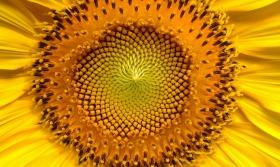 sunflower-94187_1280