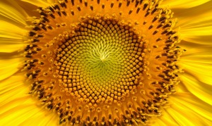 sunflower-94187_1280